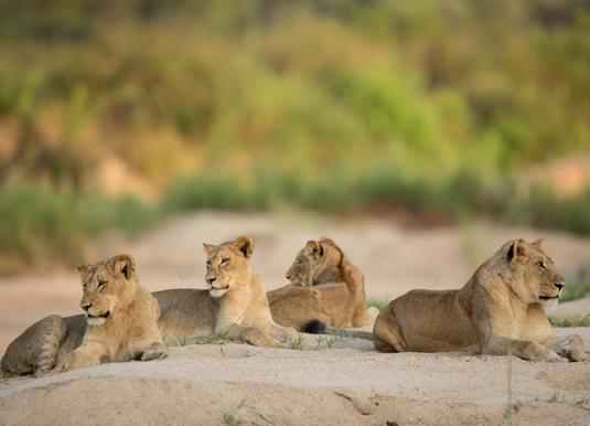 Kruger_lioness_shutterstock.jpg