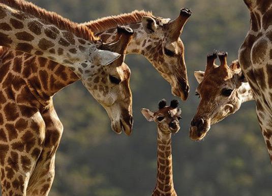 Eastern-Cape-Giraffes.jpg