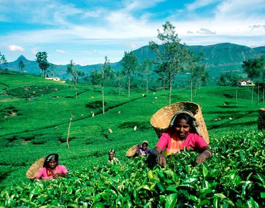 Tea_pickers.jpg