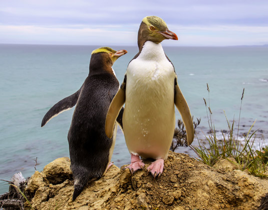 Otago_Peninsula_Penguins.jpg