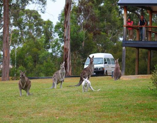 Yarra_Valley_Kangaroos_at_Yering_Gorge_Cottages.jpg