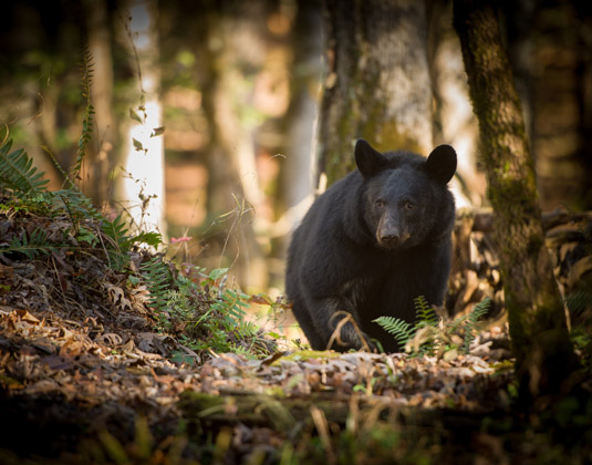 Smoky_Mountains_Bear_in_Great_Smoky_Mountains.jpg