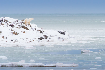 Manitoba_polar_bear_shutterstock_350415668.jpg