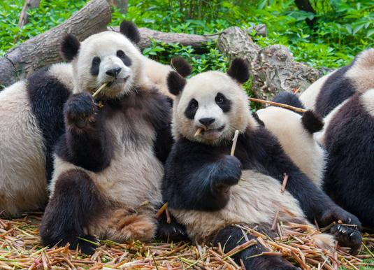 Chendu-Pandas.jpg