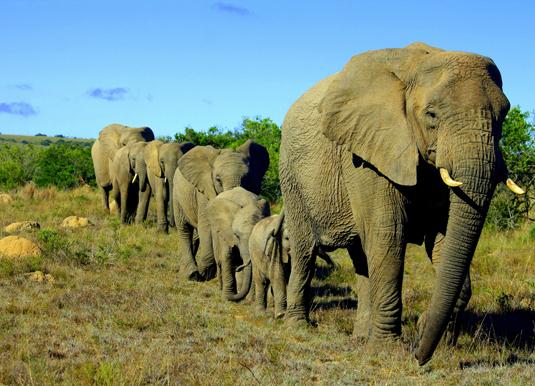 Elephants_shutterstock_102102181.jpg