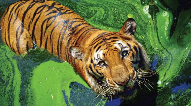 Ranthambore tiger