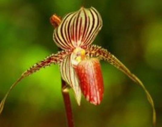 Kinabalu Orchid