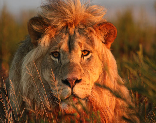 Gondwana_-_Lion.jpg