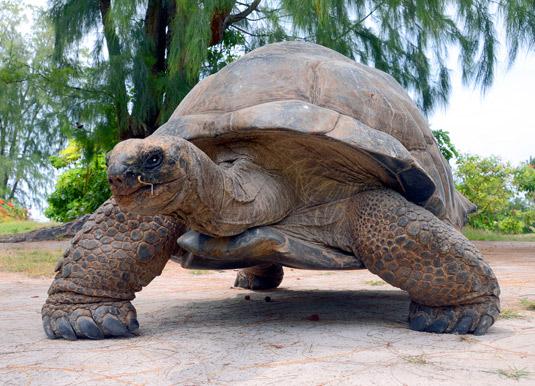Giant tortoise Bird Island