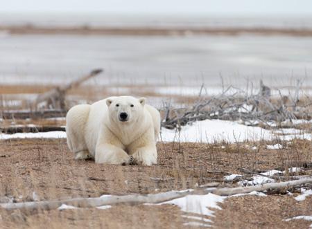 Polar_Bear_on_Hudson_Bay_shutterstock_1092712103.jpg