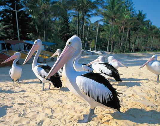 Moreton_Island,_Pelicans_Tourism_and_Events_Queensland.jpg