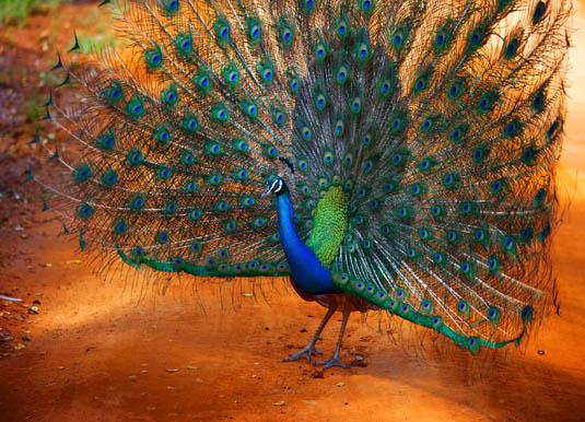 Yala_Peacock.jpg