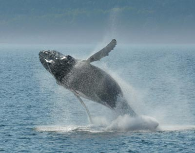 Whale Watching from Québec City excursion