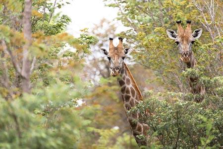The-Hide-Giraffe-2.jpg