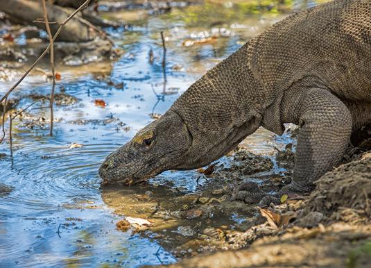 Komodo Dragon drinking