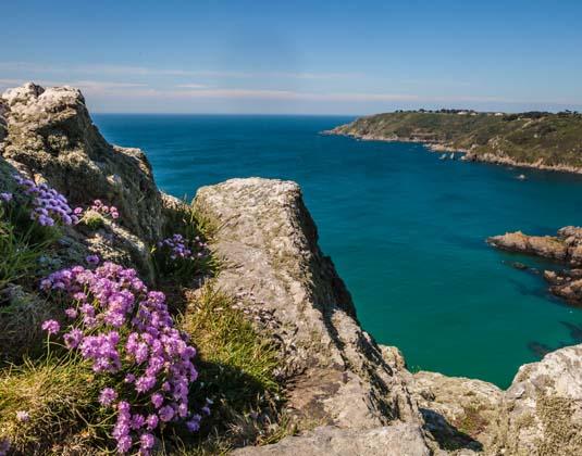 Guernsey's south coast cliffs purple flowers