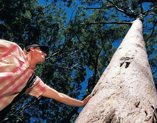 Margaret_River_Karri_Trees.jpg