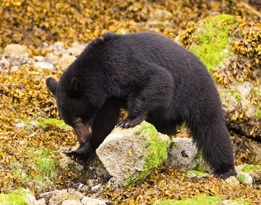 Tofino Bear looking under rock