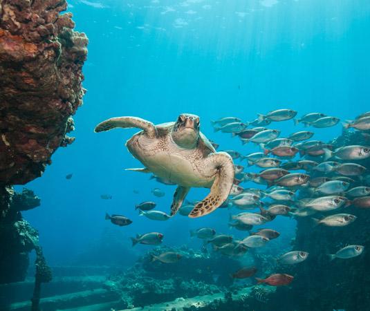 Maui_Turtle.jpg