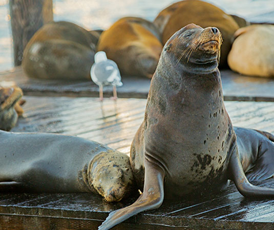 San_Francisco_Sea_Lions.jpg