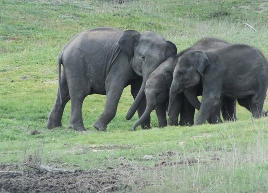Gal_Oya_elephants.jpg