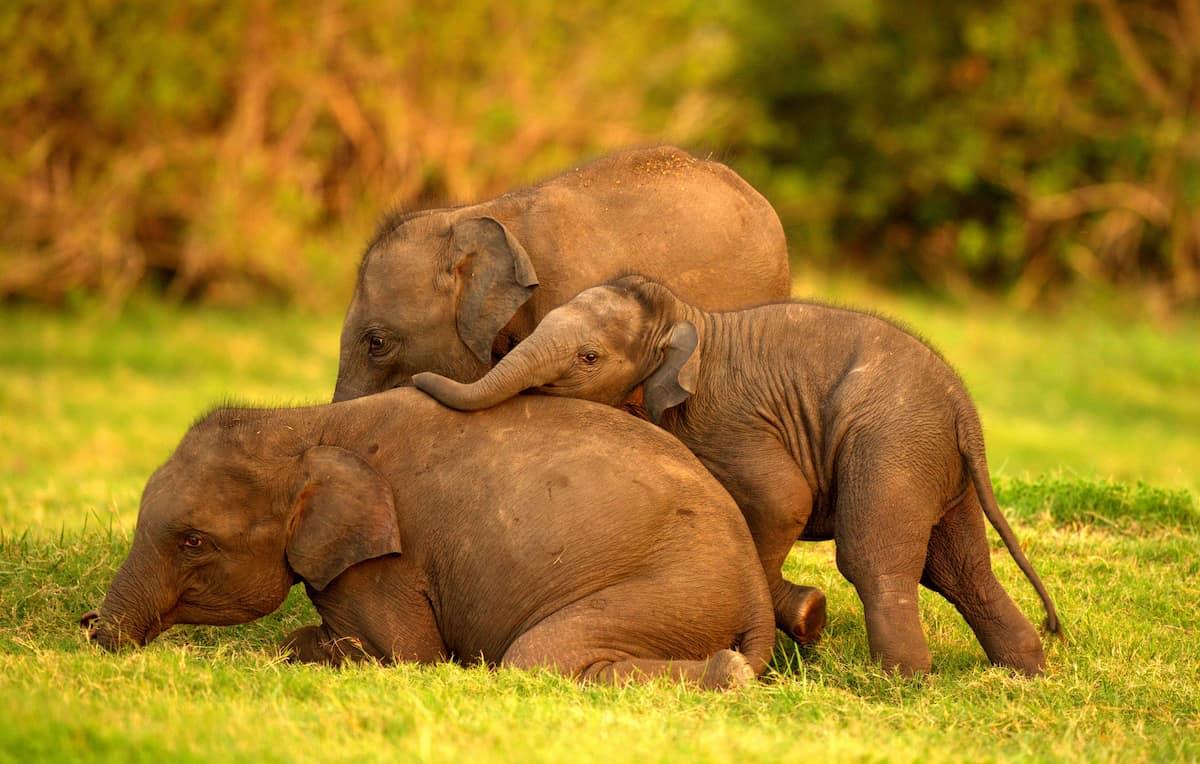 Sri-Lanka-cute-elephants.jpg