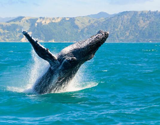 Total_South_Island_Whale,_Kaikoura.jpg
