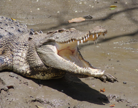 Whitsunday Crocodile Safari (inc BBQ lunch) excursion