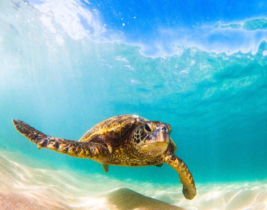 Cruise_Round_trip_Honolulu_Hawaii_-_Turtle.jpg