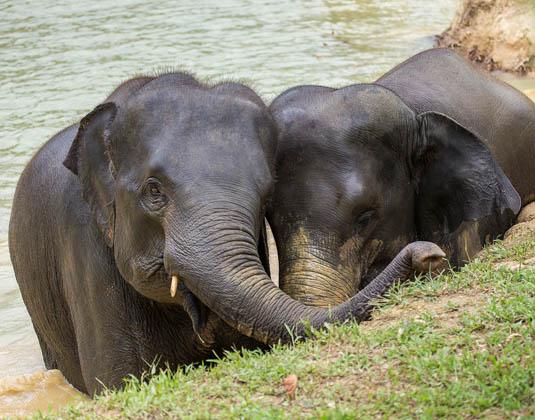 Elephant_Hills_-_Elephants_in_water.jpg