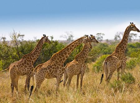 Giraffes Kruger