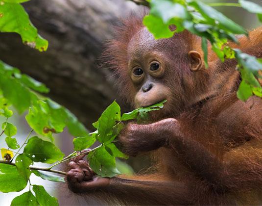 Sandakan Orang utan baby eating leaf