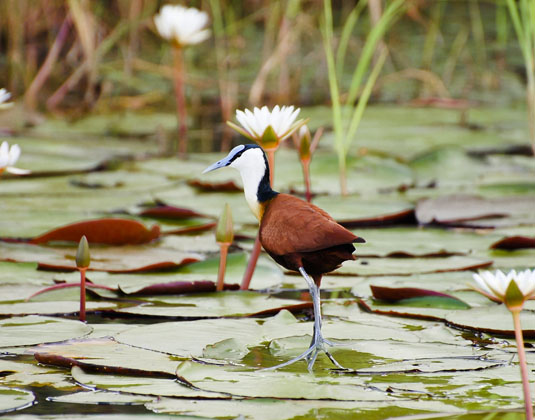 Chobe_National_Park_-_Jacana.jpg