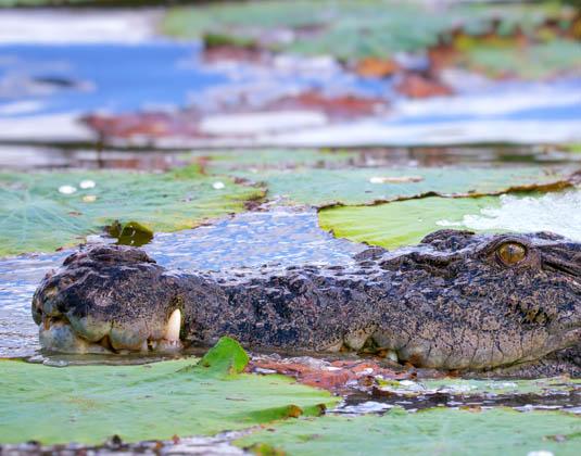 Kakadu_National_Park_Crocodile.jpg