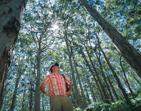 Karri_Trees,_Margaret_River.jpg