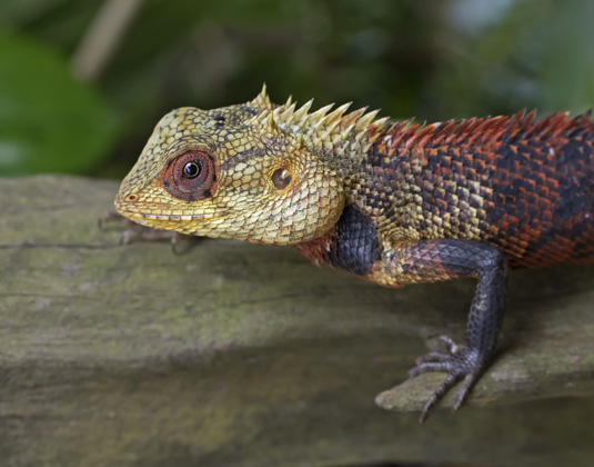 Sinharaja Chameleon