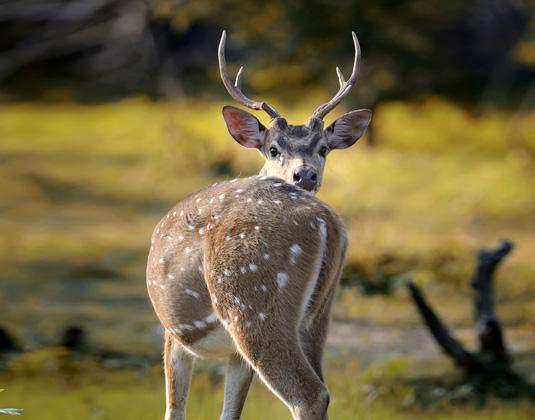 Spotted_deer,_Yala.jpg