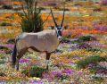 Oryx Namaqualand