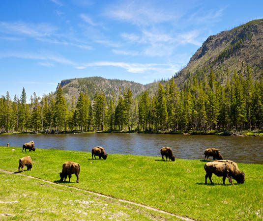 Rest_of_the_West_Yellowstone_National_Park,_Bison.jpg