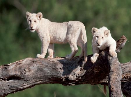 15398_1_Elandela_Lions.jpg