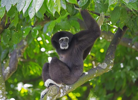 Gibbon, Kota Kinabalu