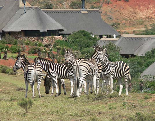 Pumba_Lodge_and_zebra.jpg