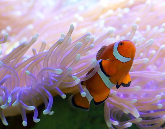 Clown_fish_reef.jpg