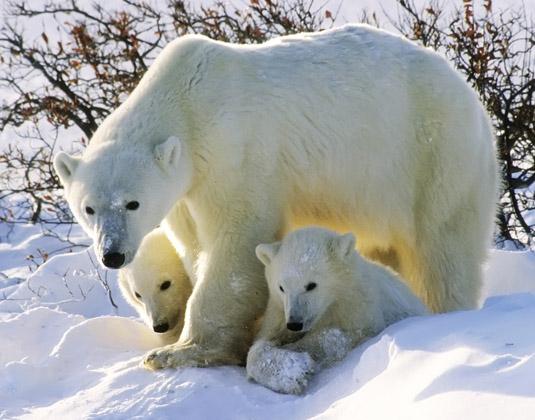 Polar_bears.jpg