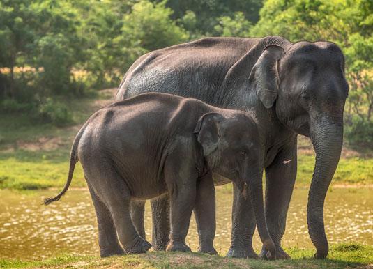 Yala_elephants_main.jpg