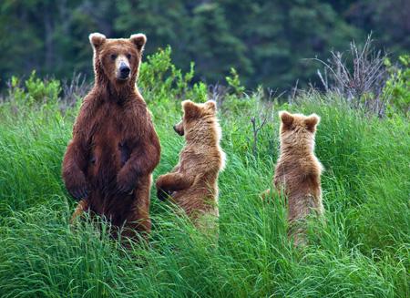 Alaska_bears_shutterstock_132724028.jpg