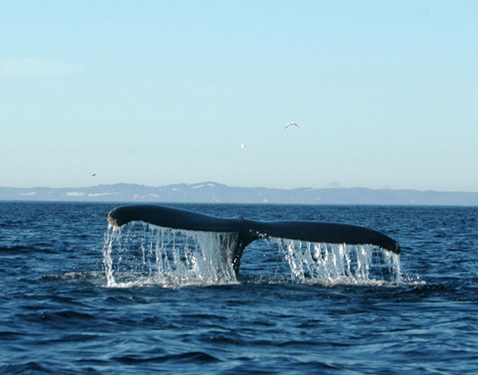 Quirpon Island - Whale