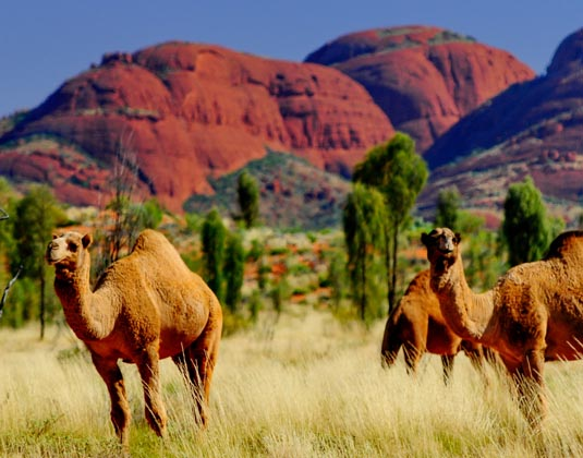 Kata Tjuta camel farm