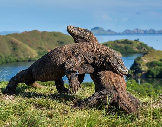 Kokodo dragons