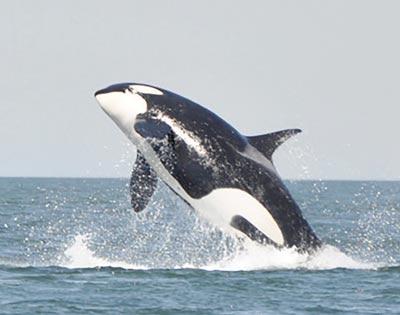 Johnstone Strait Whale Watching excursion
